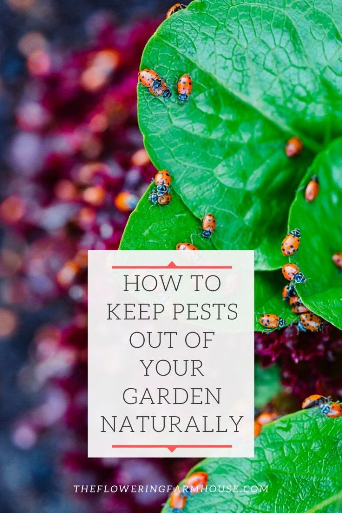 Ladybugs are a great natural way to keep pests out of your garden