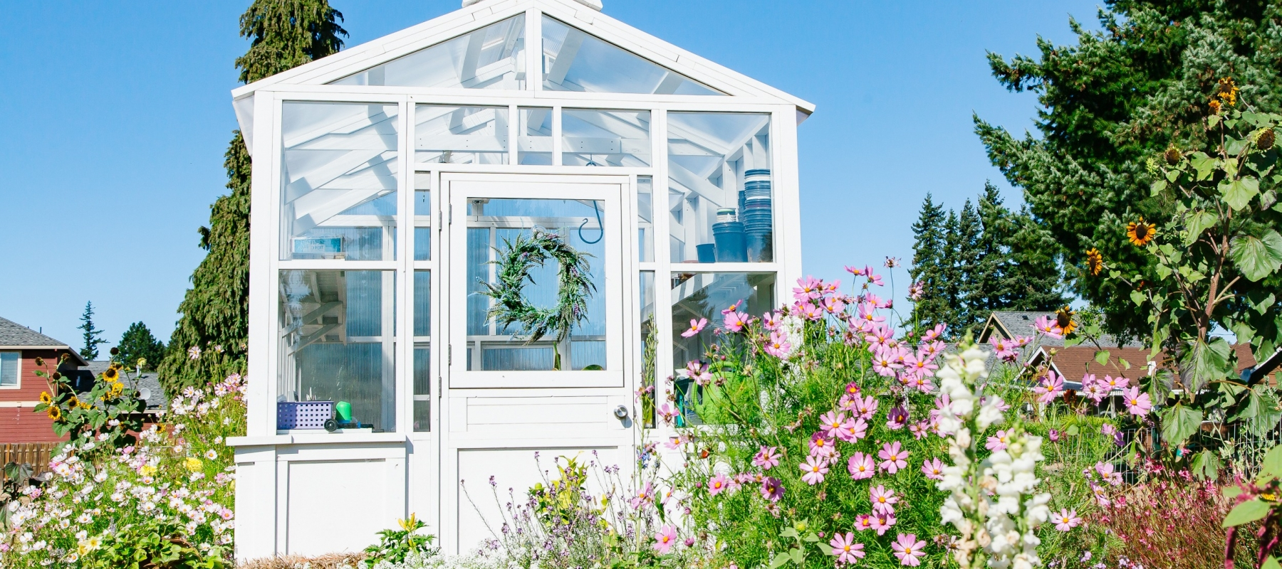 greenhouse with cosmos