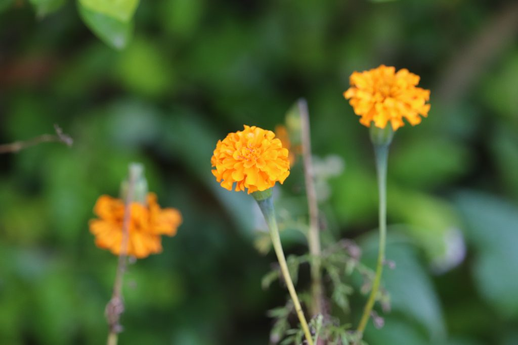 marigolds make great easy to grow cut-flowers