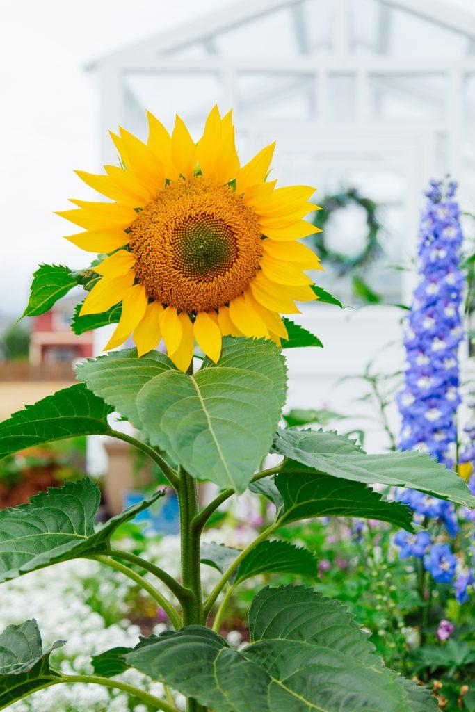 single stem sunflower makes a great cut-flower