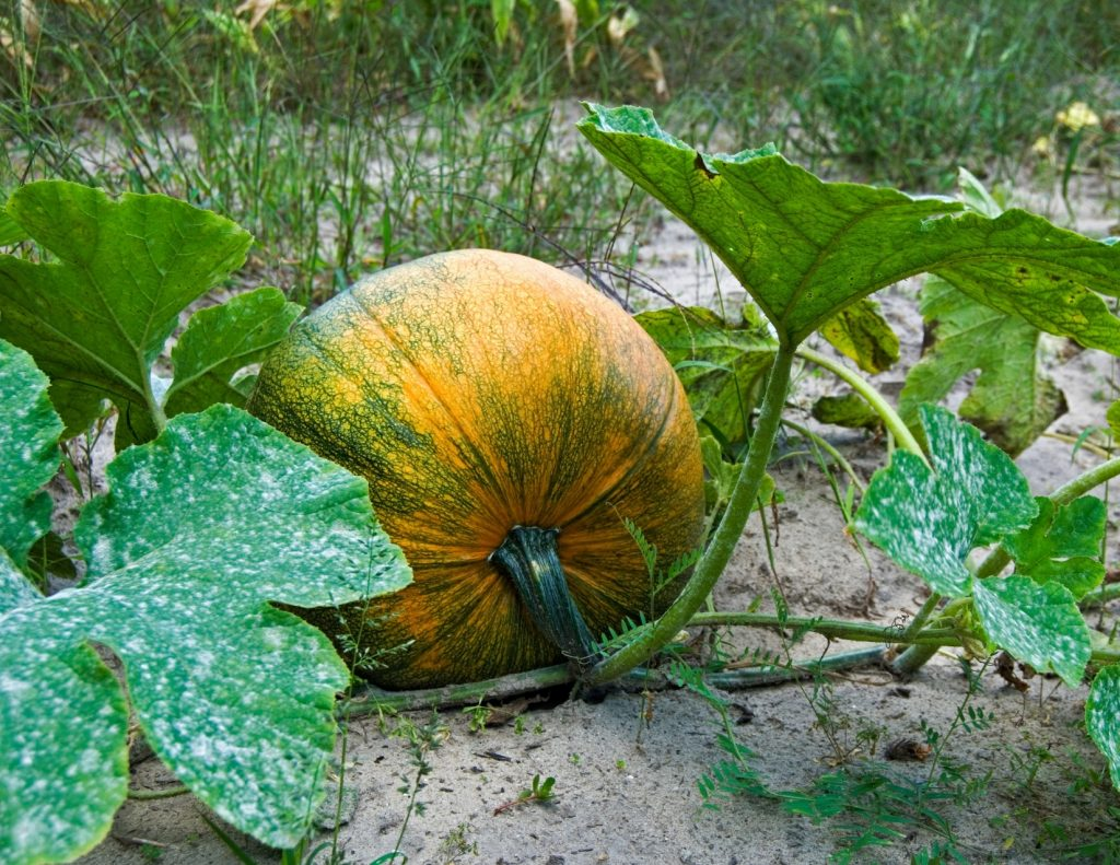 harvest pumpkins in the fall
